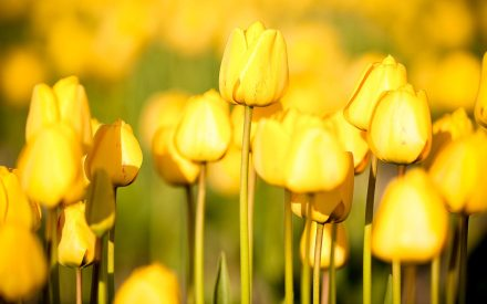 yellow_tulips3_1280x800